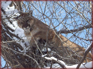 Western Colorado guided mountain lion archery hunt