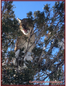 cougar - mountain lion seen on a hunt with Cat Track Outfitters in Colorado