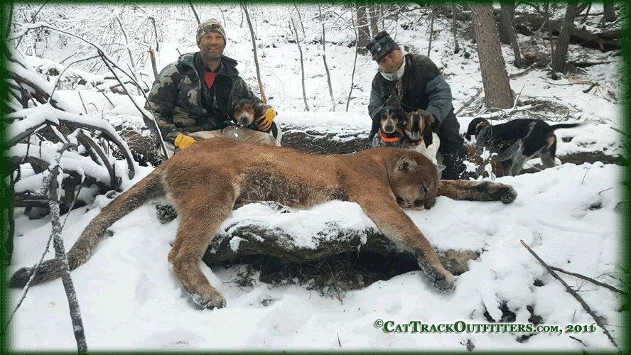 mountain lion hunting with Cat Track Guides and Outfitters in Western Colorado