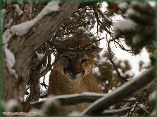 Book your Colorado mountain lion hunt with Cat Track Outfitters!
