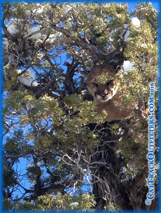 cougar treed on hunt with Cat Track Outfitters in Colorado