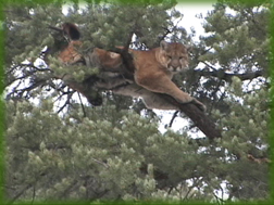 cougar treed - mountain lion hunting in Colorado