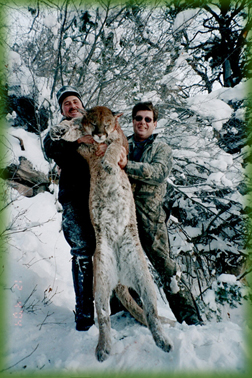 record book tom cat - cougar hunting in Colorado