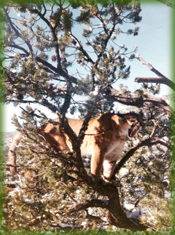 mountain lion hunting in Colorado - record book tom cats